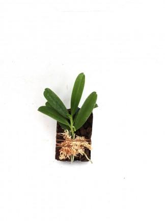 Lemurella culicifera parafán