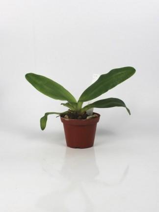 Paphiopedilum moquetianum x sib ('New Dimension 'x' Red Pouch')