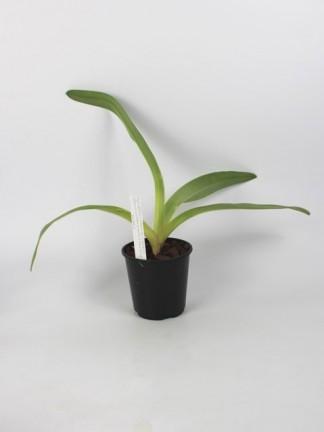 Paphiopedilum kolopakingii f. katheriae(album) x sib(New Dimension' x Albino Beauty' AM/ AOS)