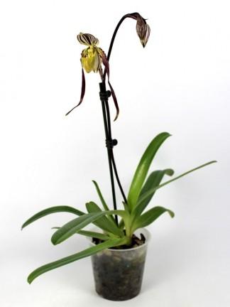 Paphiopedilum philippinense x sib