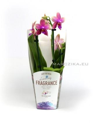 Phalaenopsis liodoro - illatos orchidea