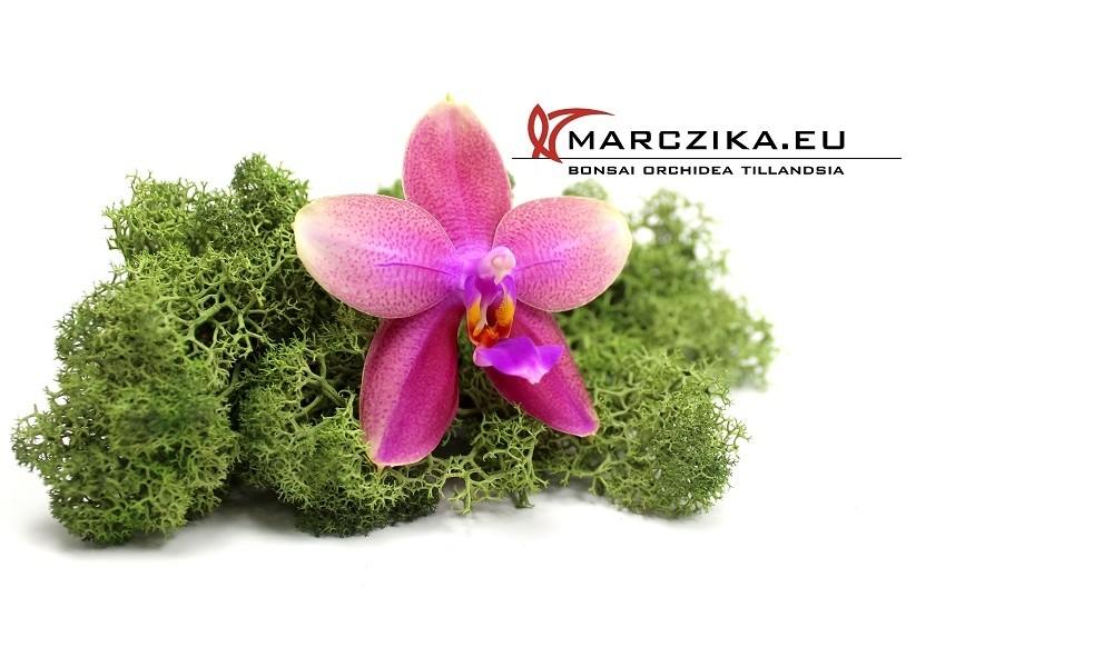 Liodoro - Egy illatos orchidea a Phalaenopsis világából