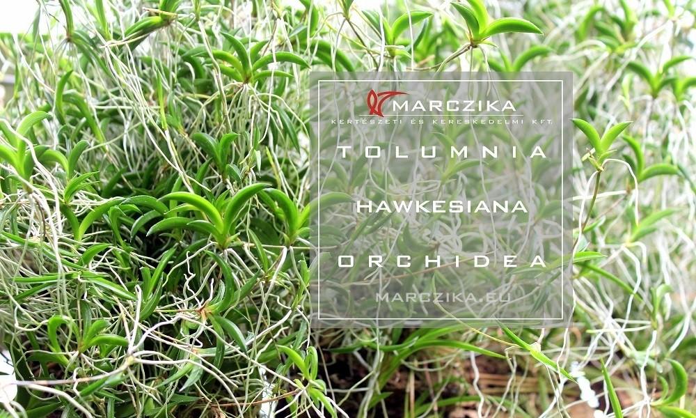 Tolumnia hawkesiana - a small orchid from Cuba