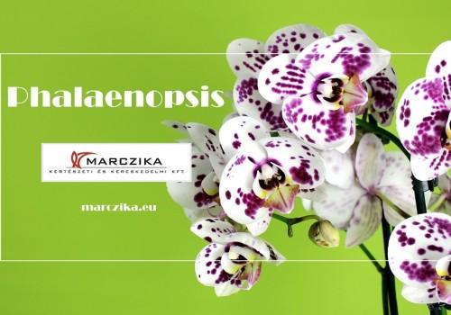 A Phalaenopsis a lepkék orchideája vagy az orchideák lepkéje?