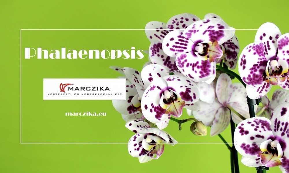 Is Phalaenopsis the orchid of butterflies or the butterfly of orchids?
