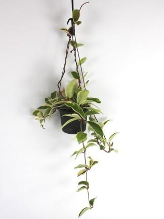 Hoya carnosa f.variegata