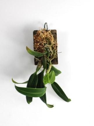 Bulbophyllum cauliflorum