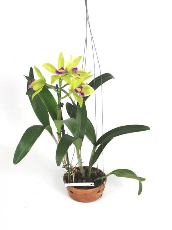 Cattleya Merry Green