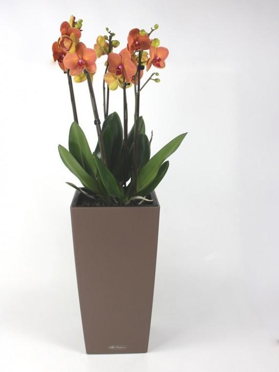 Phalaenopsis orchidea Lechuza kaspóban