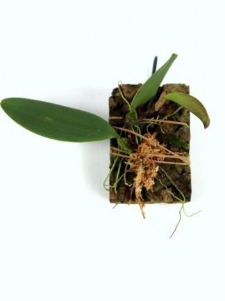 Bulbophyllum sulcatum