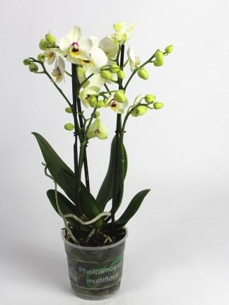 Phalaenopsis 3 virágszáras 01.