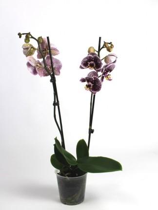 Phalaenopsis 2 száras különleges virágú
