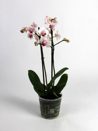 Phalaenopsis 2 száras apró virágú