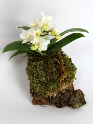 Phalaenopsis fehér virágú parafán