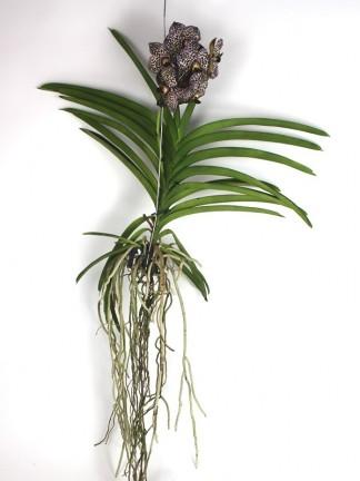 Vanda orchidea 015.