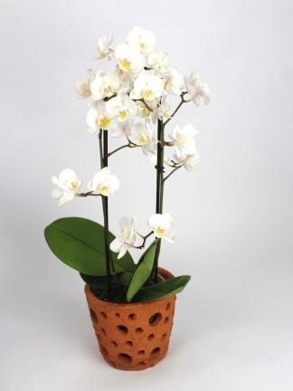 Phalaenopsis 2 száras fehér apró virágú