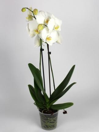 Phalaenopsis 2 száras fehér