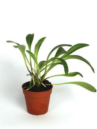 Masdevallia chonthalensis