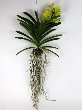 Vanda orchidea 3.