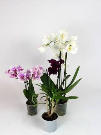 3 db Orchidea egy csomagban