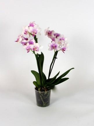 Phalaenopsis 2 száras 01.
