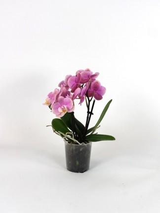 Phalaenopsis 2 száras  02.