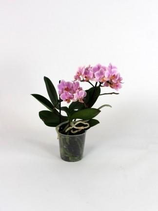 Phalaenopsis 2 száras 03.