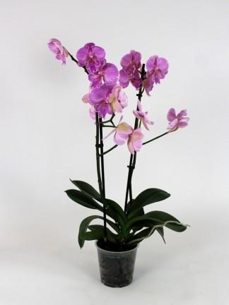 Phalaenopsis 2 száras