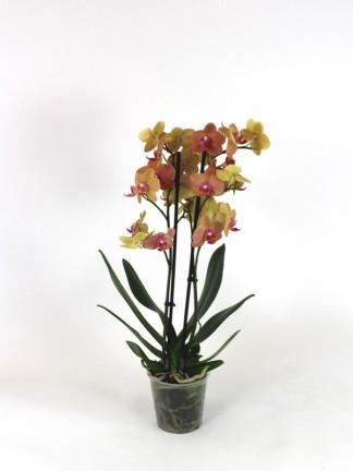 Phalaenopsis 2 száras 05.