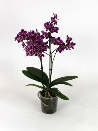 Phalaenopsis 2 száras 06.