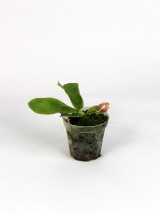 Phalaenopsis javanica' Purple 'x self