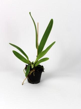 Cattleya labiata 'Odilon' x Cattleya dowiana var aurea