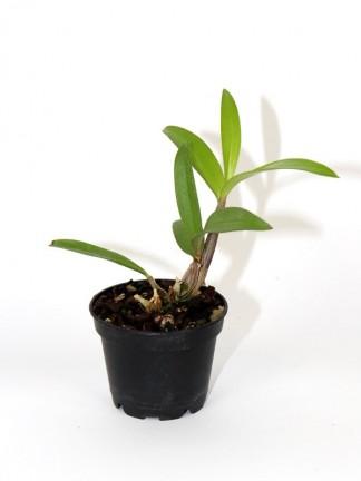 Dendrobium Berry Oda  x tetragonum