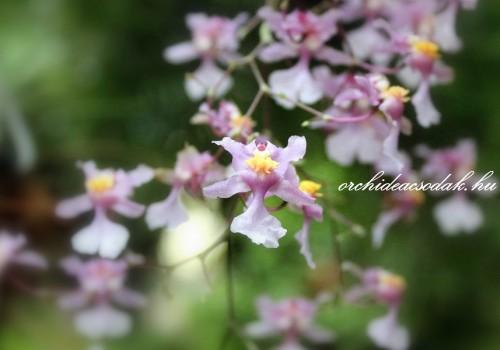 Az illatos orchideák szerelmeseinek: Oncidium ornithorhynchum