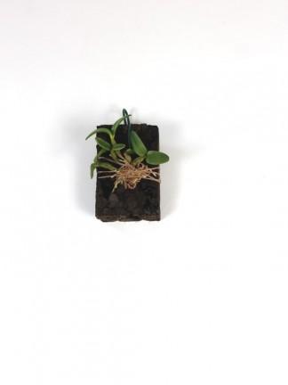 Dendrobium hymenanthum