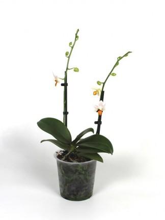 Phalaenopsis Mini Mark 2 virág száras