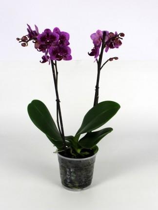 Phalaenopsis 2 száras 002.