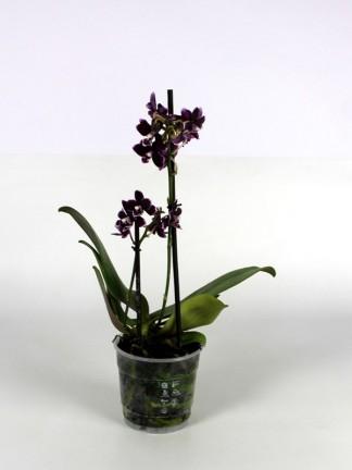 Phalaenopsis 2 száras 003.