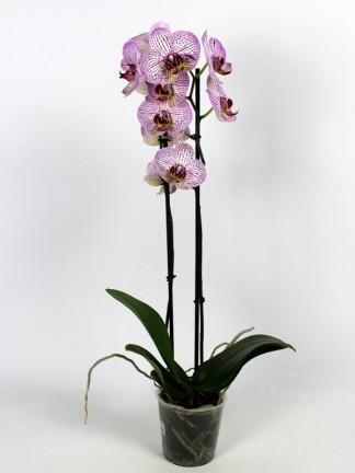 Phalaenopsis 2 virágszáras