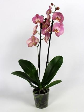 Phalaenopsis 2 virág száras 01.