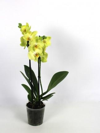 Phalaenopsis 2 száras sárga virágú