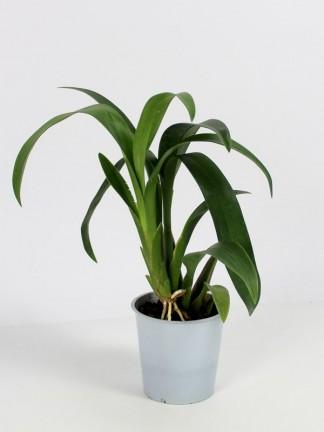 Újra virágoztatható orchideák meglepetés virággal