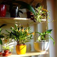 orchideák tartása gondozása otthon
